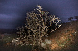 Night Hawthorn