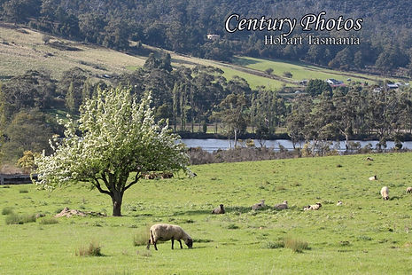 Huonville-Tasmania-1-sheep-digital-photo