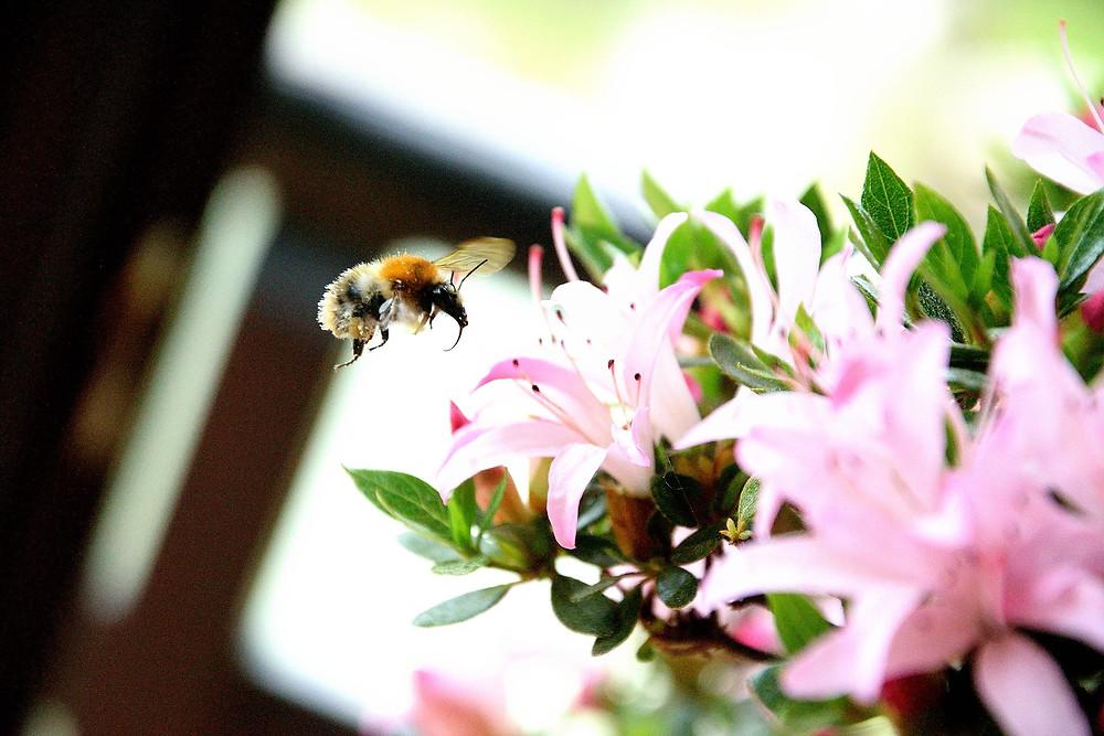 Marco Wichert Fotografie Berlin - Biene an einer Blüte