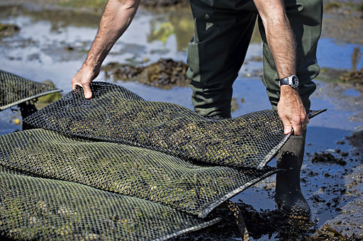 Man placing metal bag with oysters on oy