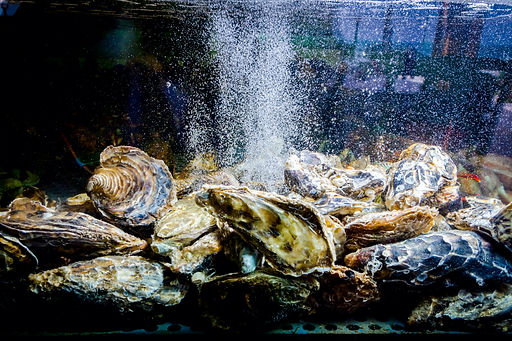 Live oysters are in aquarium, tank at tr