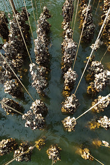 Oyster farms Gulf of Thailand.jpg
