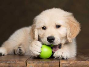 Los 5 Mejores Alimentos Para Cachorros de Raza Pequeña