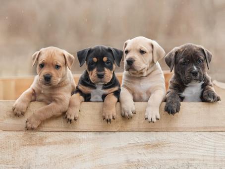 5 Grandes Beneficios De Adoptar o Comprar un Cachorro