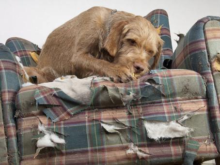 Como Evitar Que Tu Mascota Muerda o Destruya Tus Muebles