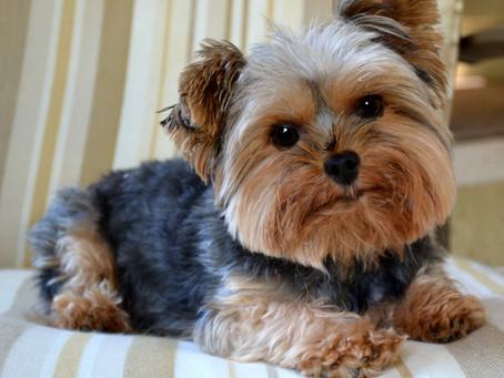 Las 10 Mejores Razas de Perros Para Tener En Tu Apartamento