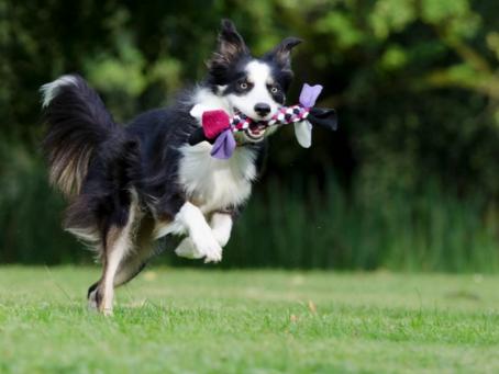 Las 5 Razas de Perros Más Inteligentes y Fáciles de Entrenar