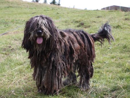 5 de las Razas de Perros Más CURIOSAS Que Nunca Pensaste Que Existían
