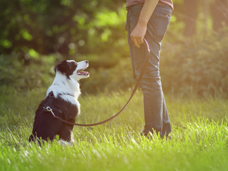 "Como Enseñarle A Tu Perro A Sentarse o ""Sit"""