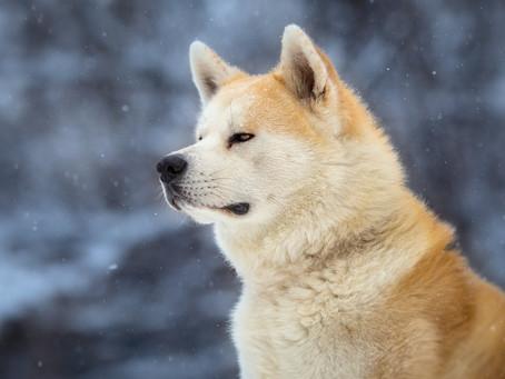 La Conmovedora Historia de Hachiko, El Perro Más Fiel Que Ha Visto El Mundo