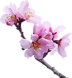 almond-tree-2063659_1920.png