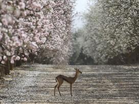 איפה תוכלו לטייל ולראות פריחה ענוגה ומשגעת של עצי השקד?