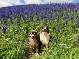 אפילו הפרחים התחפשו: איפה תוכלו למצוא מרבדים של תורמוס ההרים? פוסט צבעוני במיוחד לפורים!