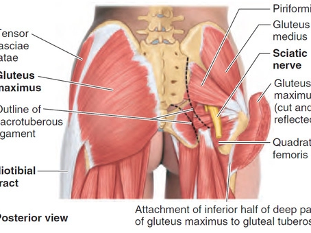 Gluteus Medius: My favorite muscle!