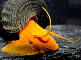 Tylomelania spec. orange