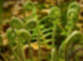 Fiddleheads_ROW14630990137.jpg