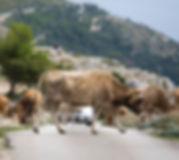 bosanka-cow-740x460.jpg