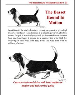 Basset in motion