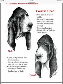 Basset Heads