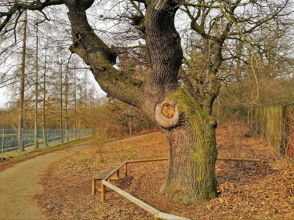Památný Dub v Hrobech poskytuje příjemný prostor pro odpočinek