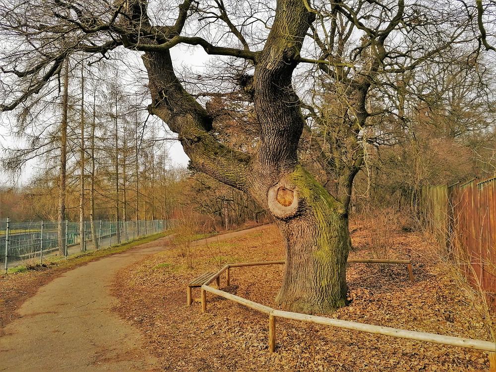 Památný strom Dub v Hrobech