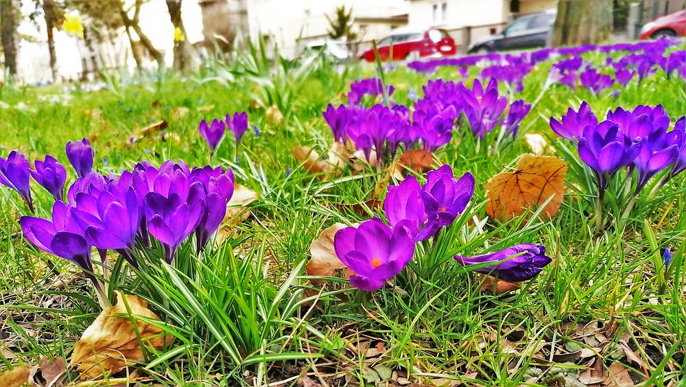 Jarní květiny v Roztylských sadech