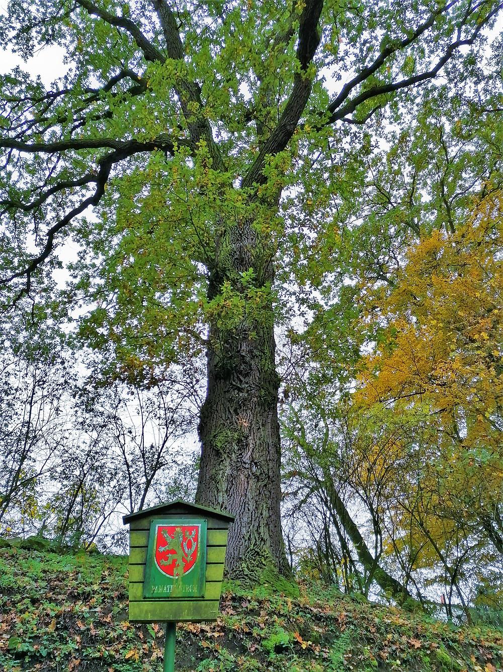 Chráněný dub Pod Perucí je synem Oldřichova dubu