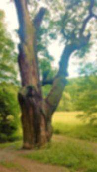 Ujezd nade Mzi - Zizkuv dub 1.jpg