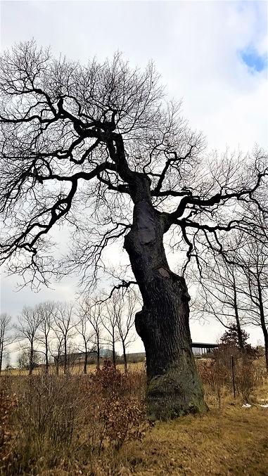 Peškův dub v Těně.jpg