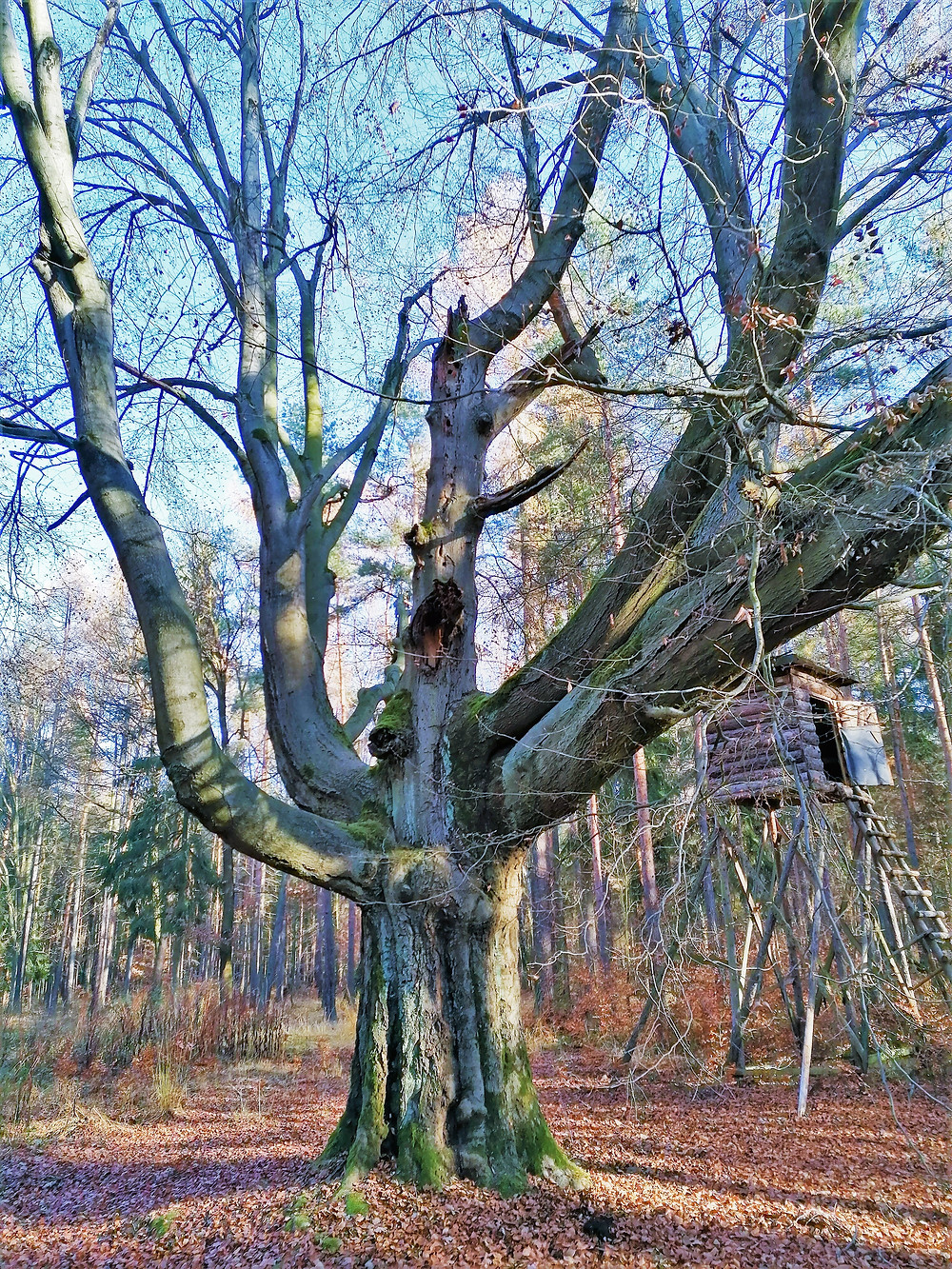 Buk v Budlíně má obvod kmene 390 centimetrů a dosahuje výšky 25 metrů