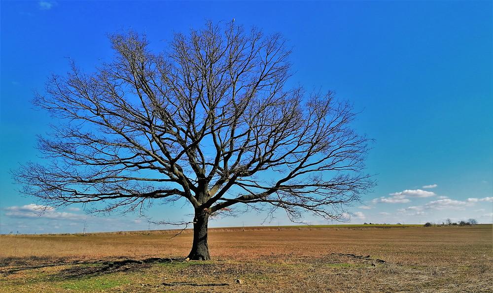 Památný strom Dub v polích mezi Točnou a Cholupicemi se objevil i v pohádce Třetí princ