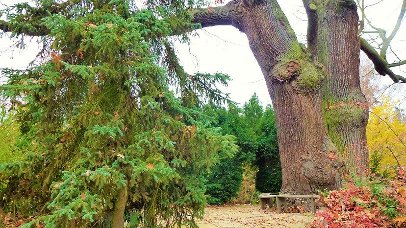 Památný strom Körnerův dub v plzeňské ZO