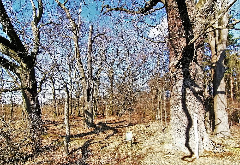 Přírodní památka Cholupická bažantnice a památné duby