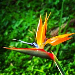 Oiseau du Paradis__Fleur du Jardin d'eau#ig_guadeloupe#SPLENDID_FLOWERS