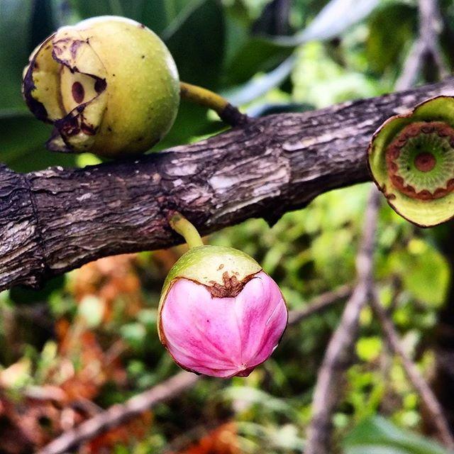 La fleur et le fruit du Néflier en Guadeloupe