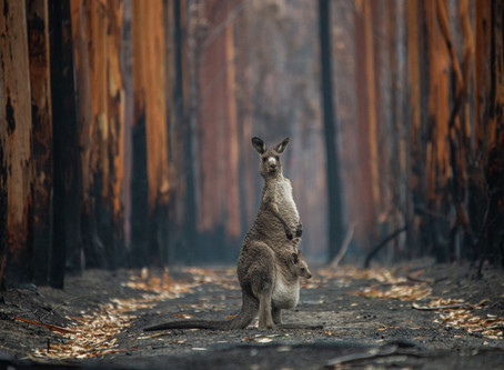 Opinion piece: Kangaroos are victims of the world's largest commercial slaughter of terrestrial wild