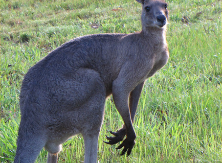 Opinion piece: The Kangaroo Meat Industry Is Horrifyingly Popular in the U.S.