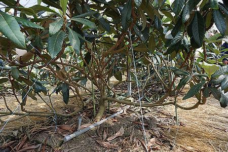低く枝を広げた木