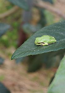 ハウスに紛れ込んだ蛙