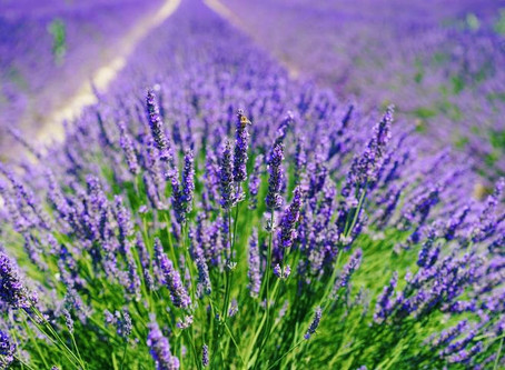 About Lavender