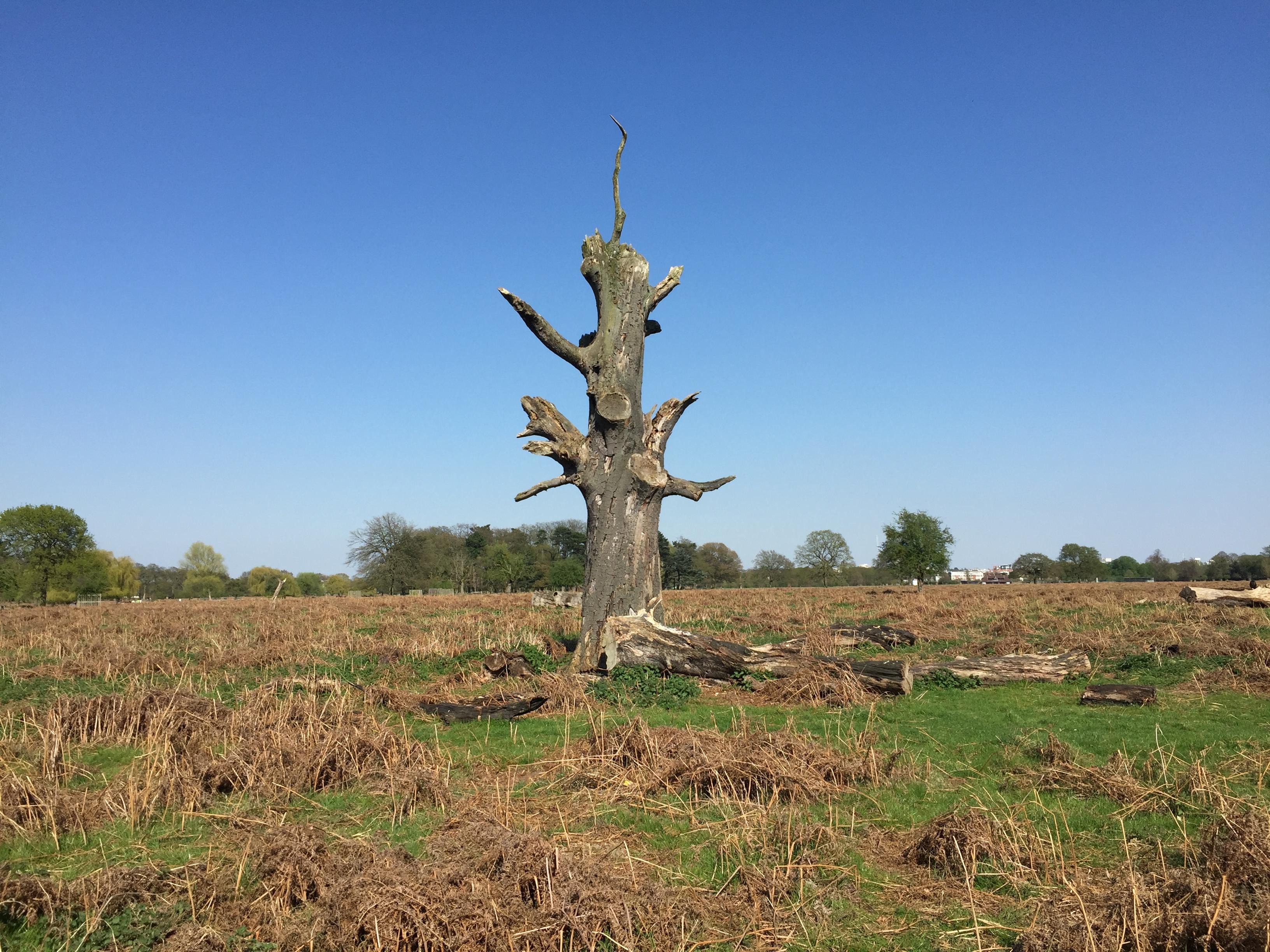 Tree in Bushy Park