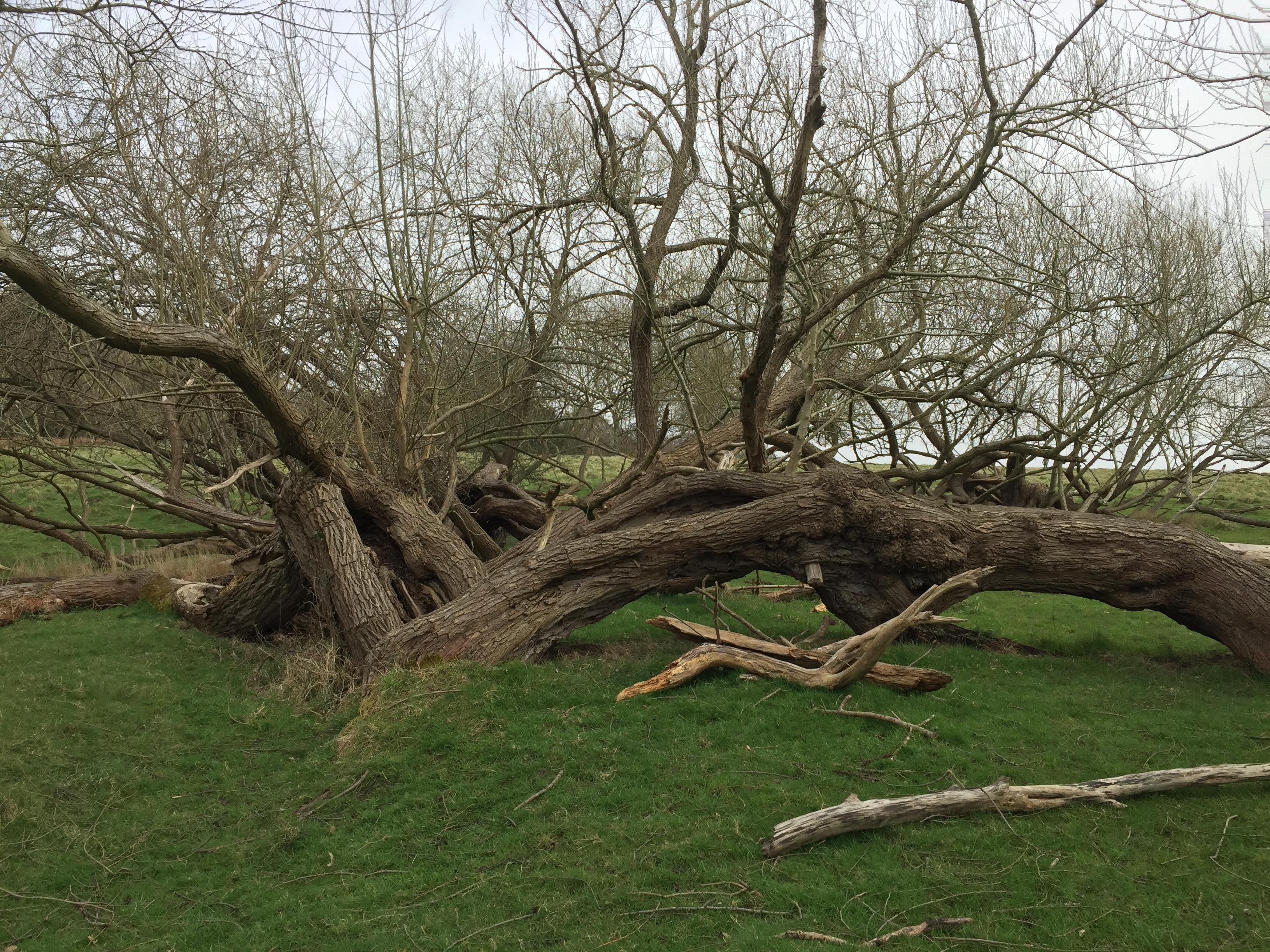 Fallen Tree in Richmond Park