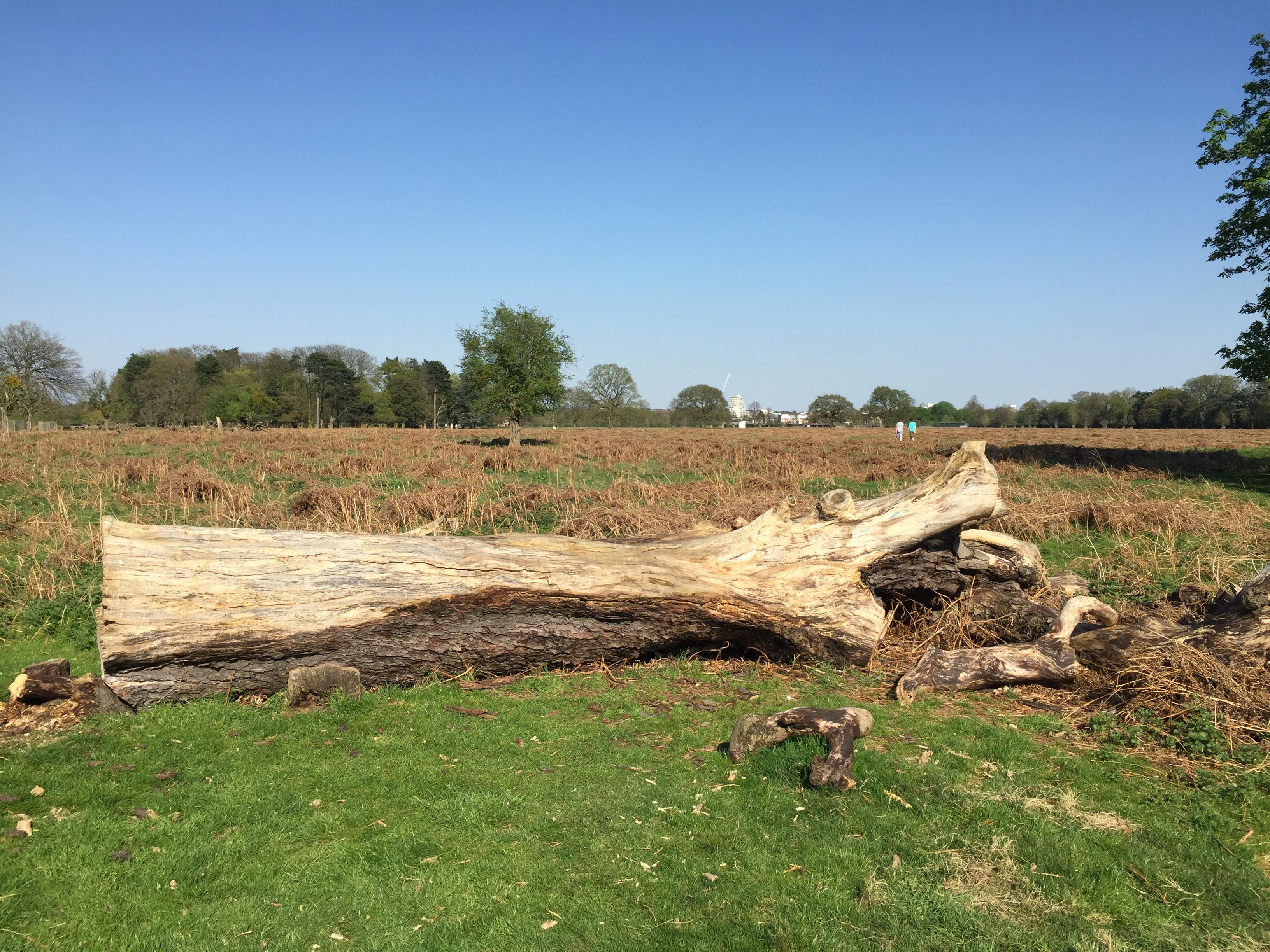 Fallen Tree in Bushy Park