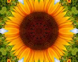 MJ Tribute Sunflower