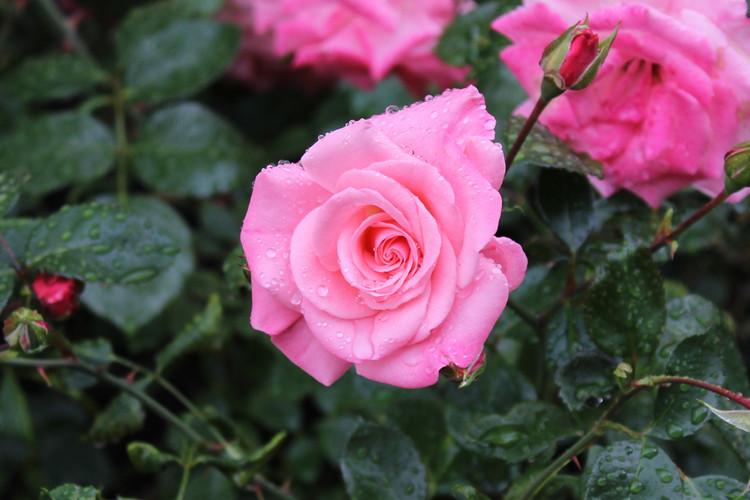 Norweigian Rose