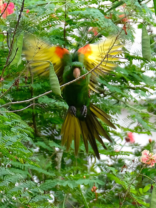 Wild Green & Gold Macaw