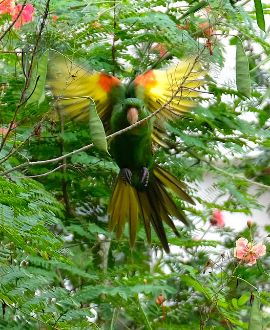 Parrot with outstretched wings