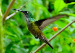 White throat hummingbird