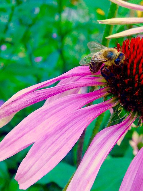 Echinacea Bee