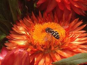 Orange Pollinator
